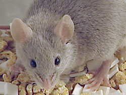 Rodent pest control at home